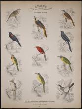 Jardine - African Birds. 56