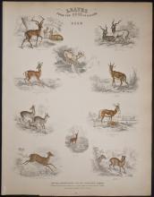 Jardine - Deer. 68