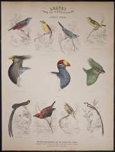 Jardine - African Birds. 78