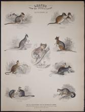 Jardine - Kangaroos, Koala. 83