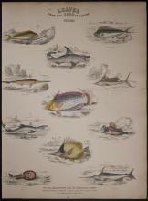 Jardine - Fishes, Shark .96