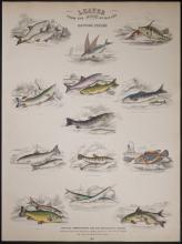 Jardine - British Fishes. 100