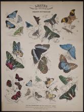 Jardine - Foreign Butterflies. 102