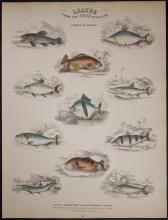 Jardine - Fishes of Guiana. 104