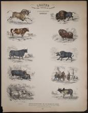 Jardine - Cow, Bull, Buffalo. 109