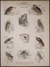 Jardine - Owls - British Birds. 114