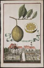 Volckamer - Limon Vulgare. 154