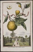 Volckamer - Limon Bergamotto Personzin Gientile. 158a