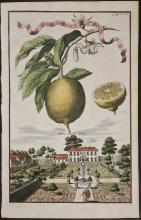 Volckamer - Limon Zucherin col pigolo. 160a