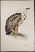 Gould - Griffon Vulture