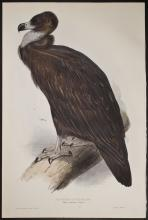 Gould & Lear - Cinereous Vulture