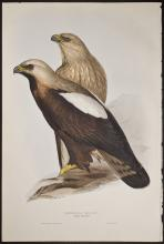 Gould - Imperial Eagle