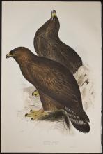 Gould & Lear - Golden Eagle