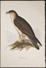Gould - Bonelli's Eagle