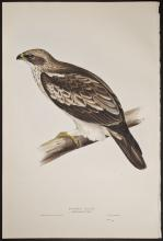 Gould - Booted Eagle