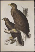 Gould & Lear - Sea Eagle