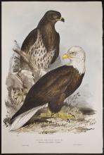 Gould & Lear - White-headed Eagle