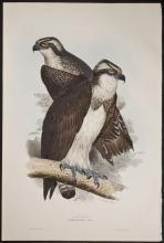 Gould & Lear - Osprey