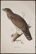 Gould & Lear - Short-toed Eagle