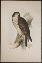 Gould & Lear - Common Buzzard