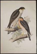 Gould - Sparrow Hawk