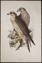 Gould & Lear - Lanner Falcon