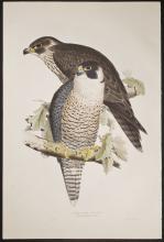 Gould & Lear - Peregrine Falcon