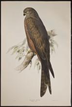 Gould & Lear - Black Kite