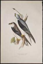 Gould - Black-winged Kite