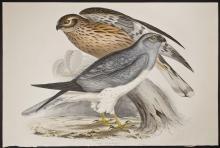 Gould - Hen Harrier