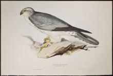 Gould - Pallid Harrier