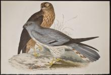 Gould - Ash-coloured Harrier