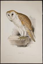 Gould & Lear - Barn Owl