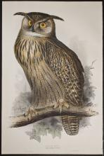 Gould & Lear - Great Horned or Eagle Owl