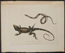 White - Snake, Muricated Lizard. 18