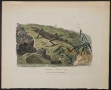 White - Muricated Lizard. 19