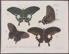 Jablonsky - Butterflies or Moths. 14