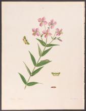 Abbot - Tobacco-Bud-Worm Moth. 100