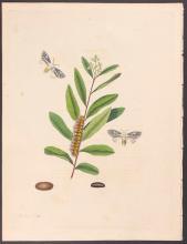 Abbot - Black-streaked Ermine Moth. 68