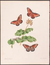 Abbot - Chesnut-coloured Butterfly. 7