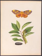 Abbot - Royal Persimmon Moth. 61