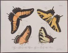 Jablonsky - Butterflies or Moths. 41