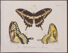 Jablonsky - Butterflies or Moths. 39