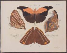 Jablonsky - Butterflies or Moths. 35