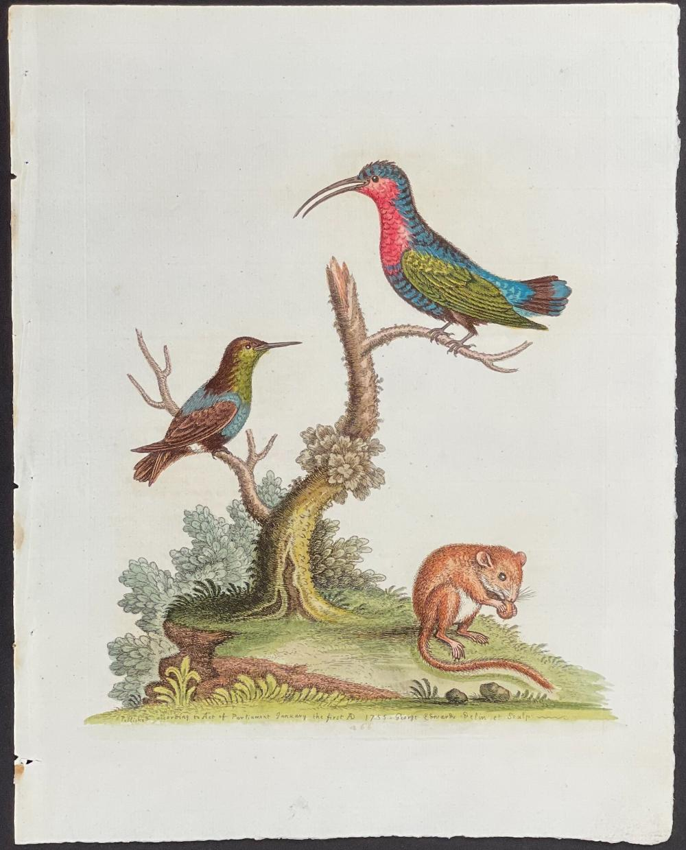 Edwards - Red-breasted Hummingbird & Green-throated Hummingbird & Dormouse. 266