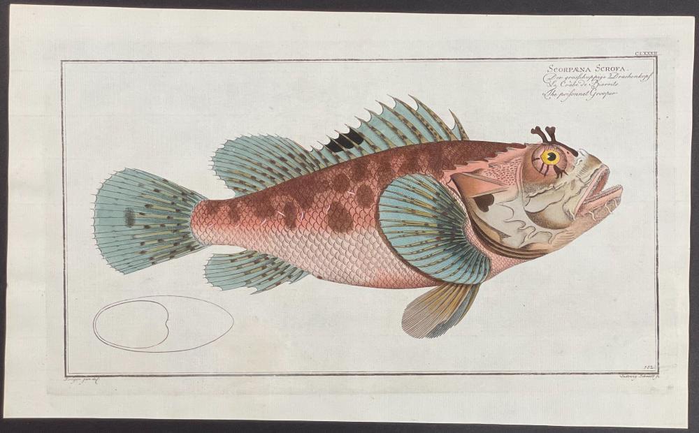 Bloch, Folio - Poisoned Grouper Fish - Scorpaena Scrofa. 182