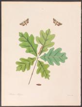 Abbot - White-tip Moth. 80