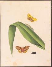 Abbot - Corn Emperor Moth. 49
