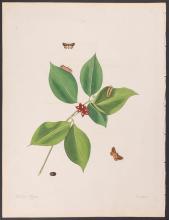 Abbot - Dogwood Snail-Caterpillar Moth. 73