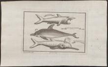 Salmon - Dolphin, Shark